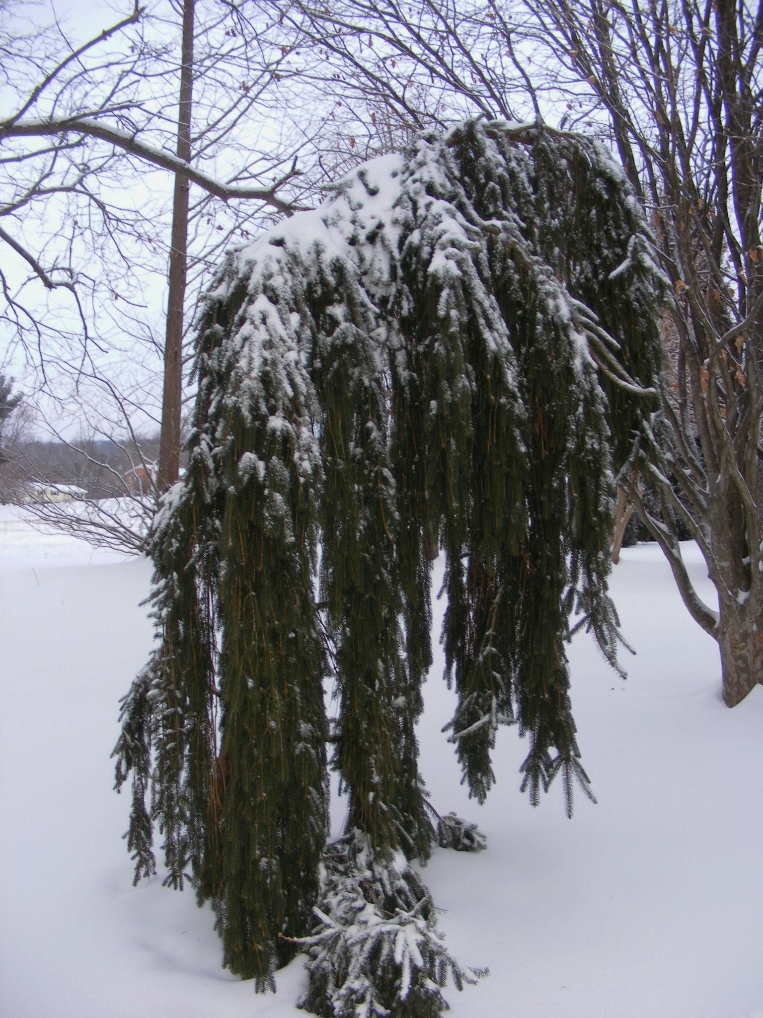 weeping conifers in the winter garden spectacular the winter