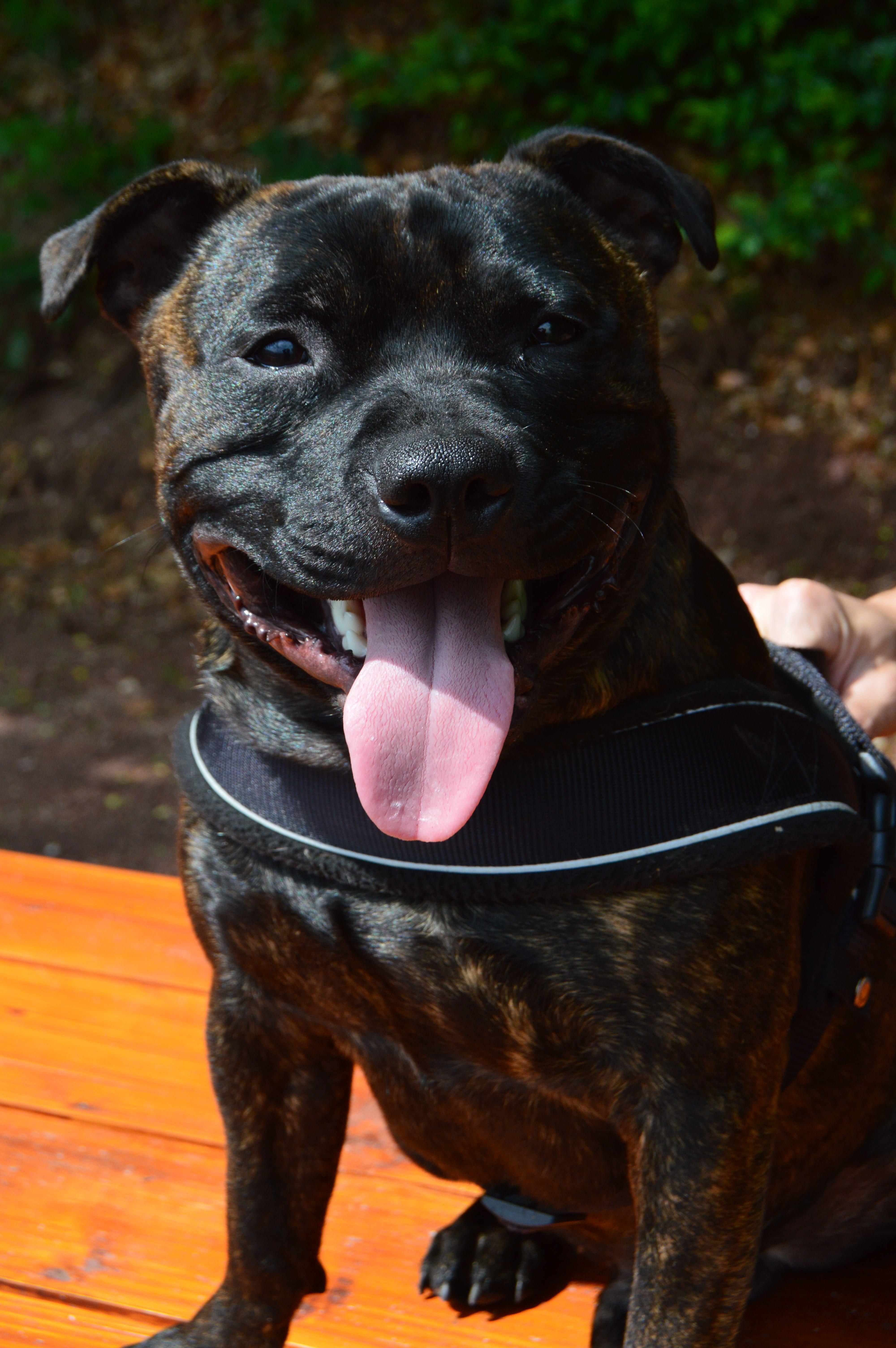 Staffordshire Bull Terrier Staffie Bringe Bullterrier Hunde