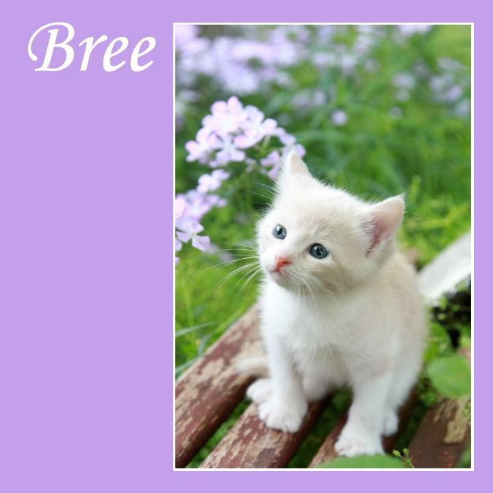 Meet Bree a Petfinder adoptable Domestic Short Hair - buff and white Cat | Keller, TX | Hi, I'm Bree. I looooove being held and spent the afternoon at today's adoption event being held by...