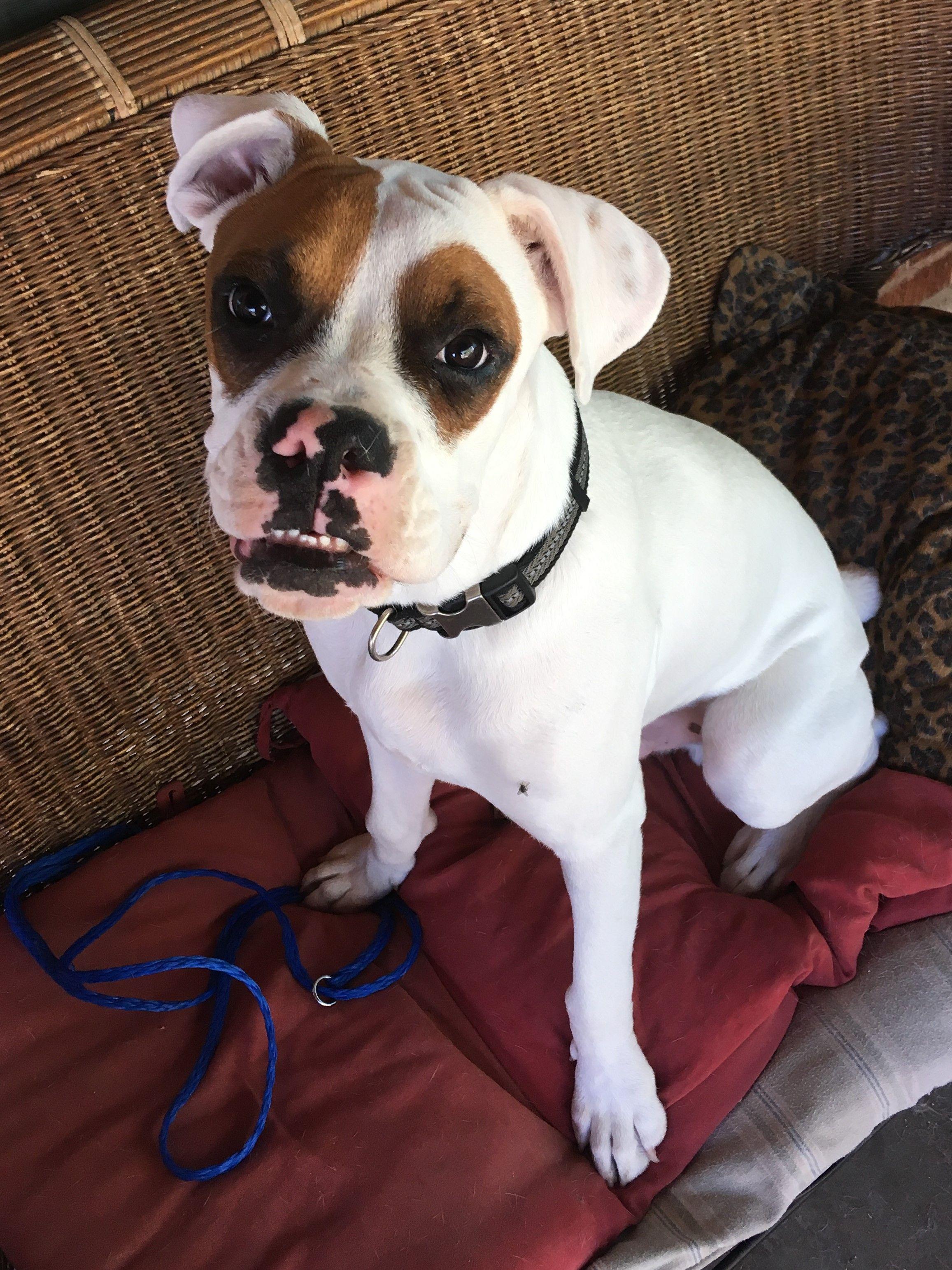 Boxer dog for Adoption in Phoenix, AZ. ADN696947 on