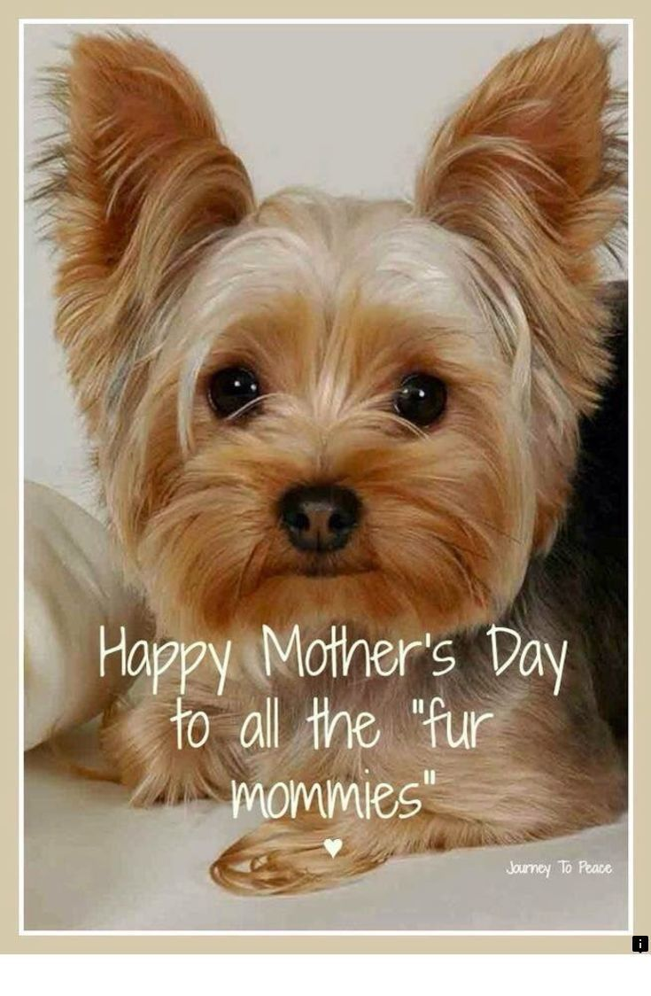 Our web imag… Yorkie terrier, Yorkshire terrier puppies