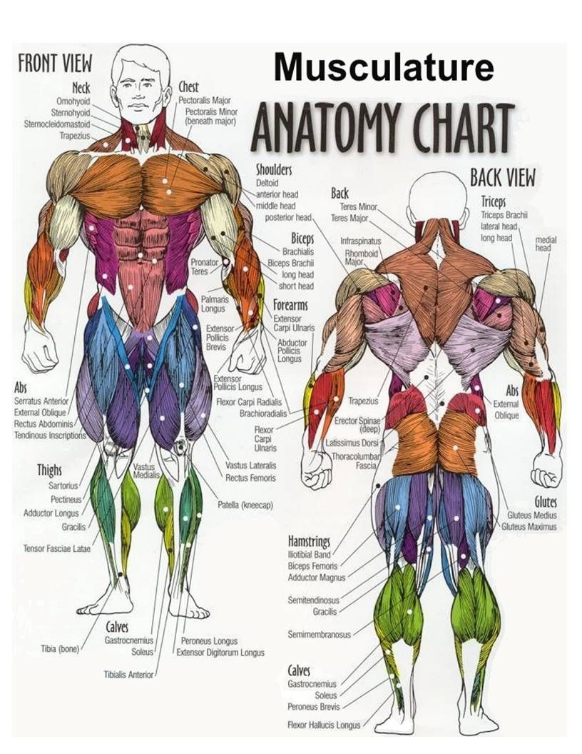 chest muscle diagram anatomy pinterest chest muscles. Black Bedroom Furniture Sets. Home Design Ideas
