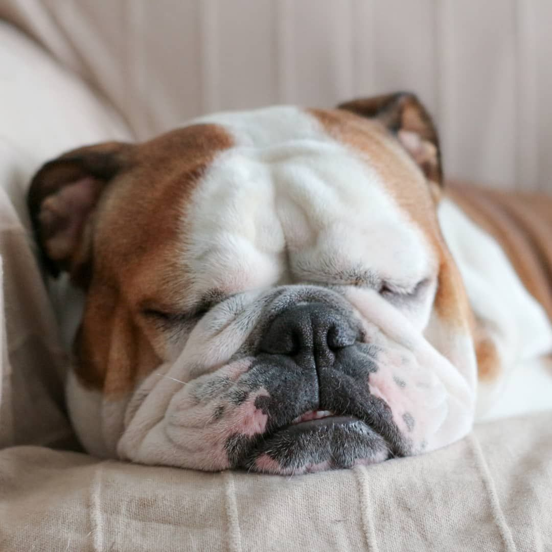 My Sunday Plans Happy Lazysunday Everyone Lazysundays Sleepysunday Snoozing Notmoving English Bulldog Bulldog Old English Bulldog