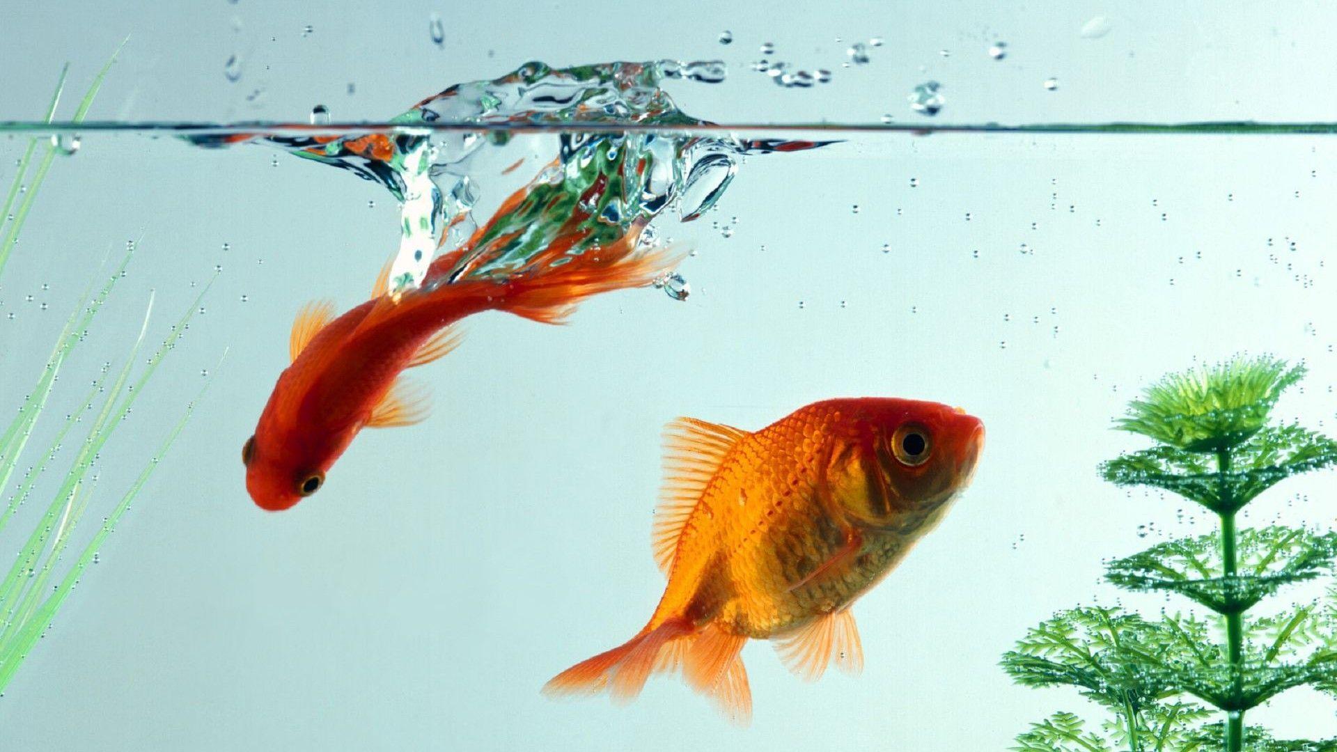 Goldfish Aquarium Wallpaper Pixshark Com Images HD Wallpapers Download Free Images Wallpaper [1000image.com]