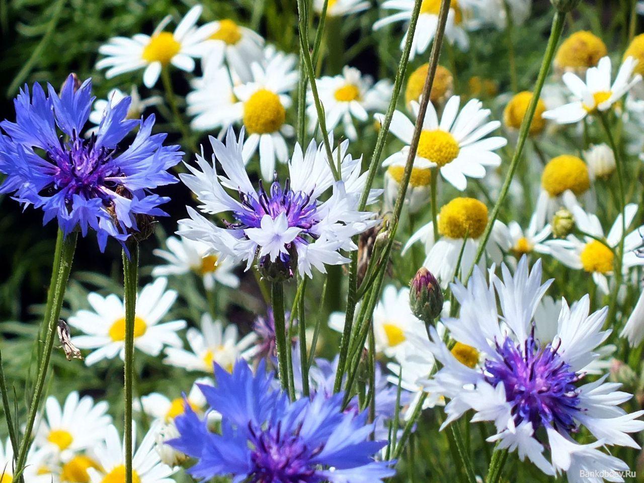 обои Васильки - ромашки фото | цветы | Ромашки, Цветы и ...
