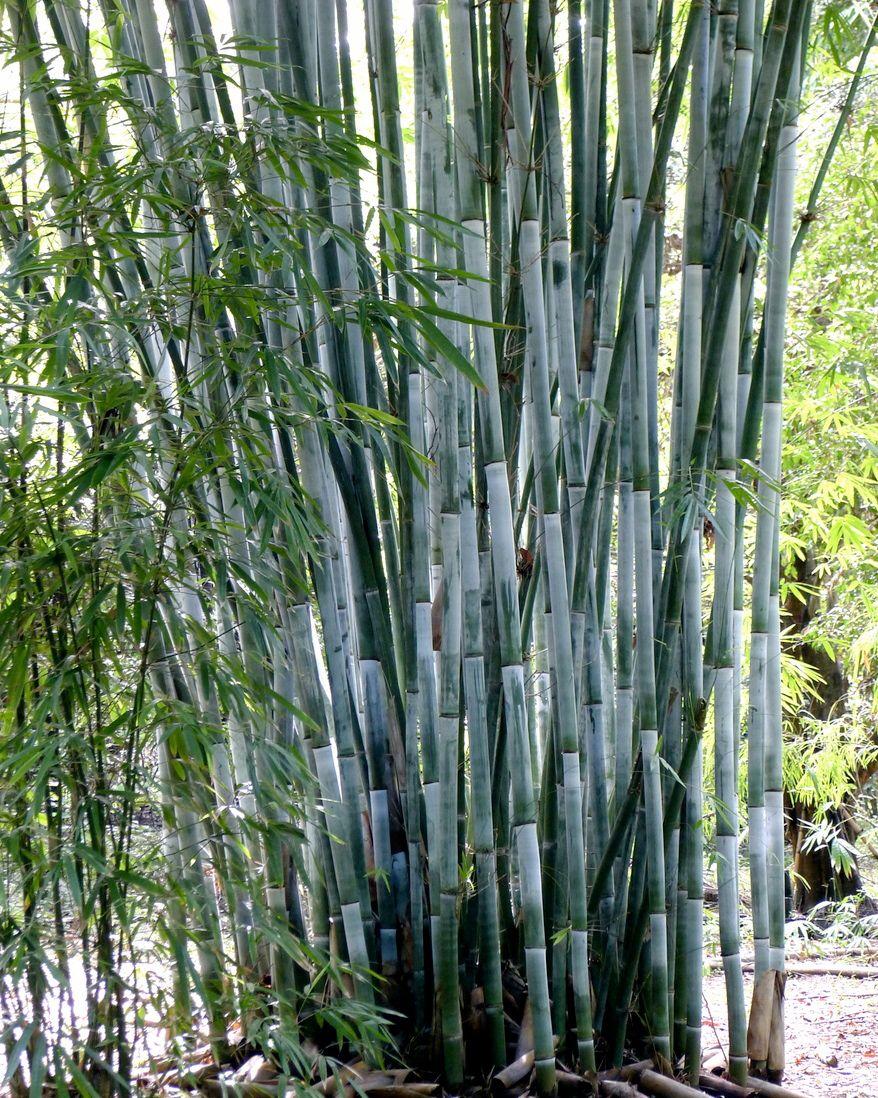 Bambusa Chungii Bamboo garden, Bamboo species, Bamboo tree