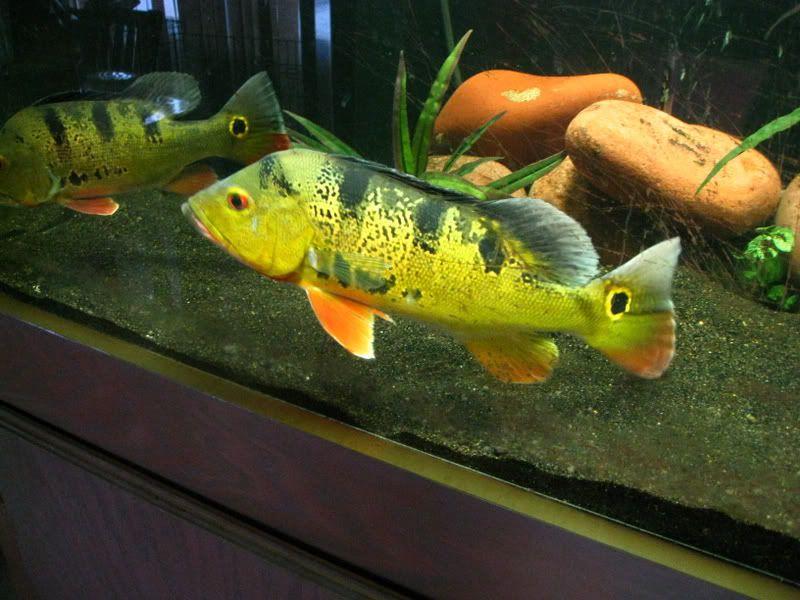 My Peacock Bass Picture - Fish for the Planted Aquarium ... |Peacock Bass Aquarium