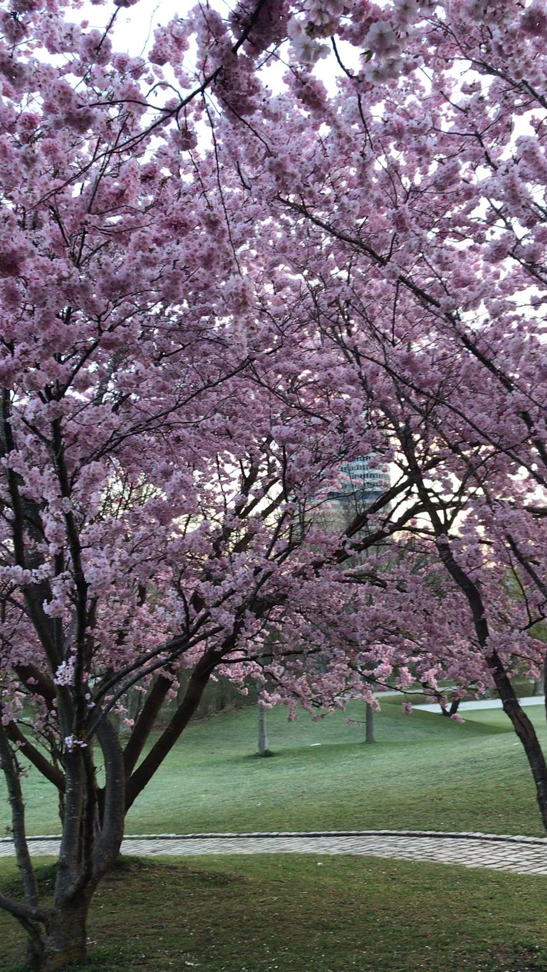 Cherry Blossoms In Munich Eine Umfangreiche Anleitung Von Catherine Storyteller Van Camper