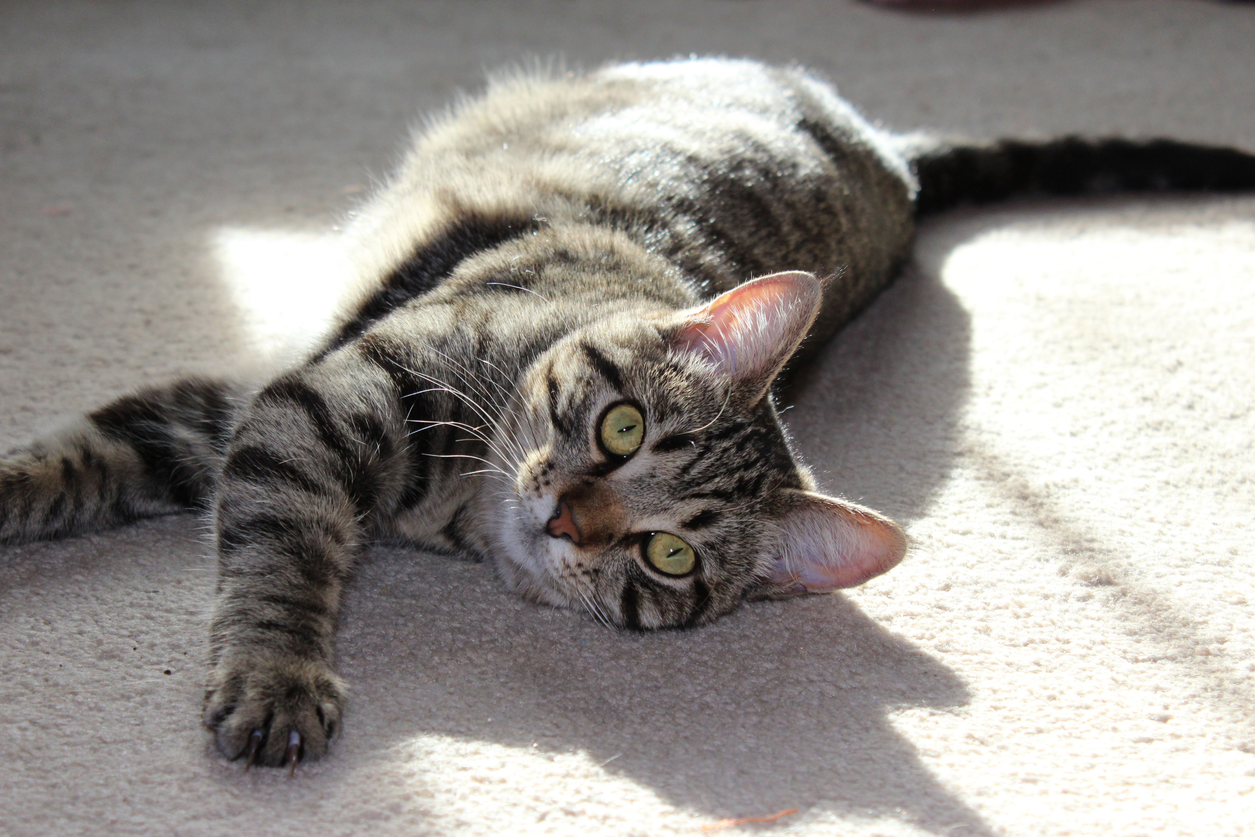 ADOPTED! Stunning Sophia Super Sweet Tabby Kitten (20