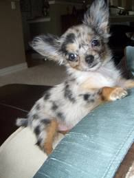 love the color Chihuahua welpen, Chihuahua welpen