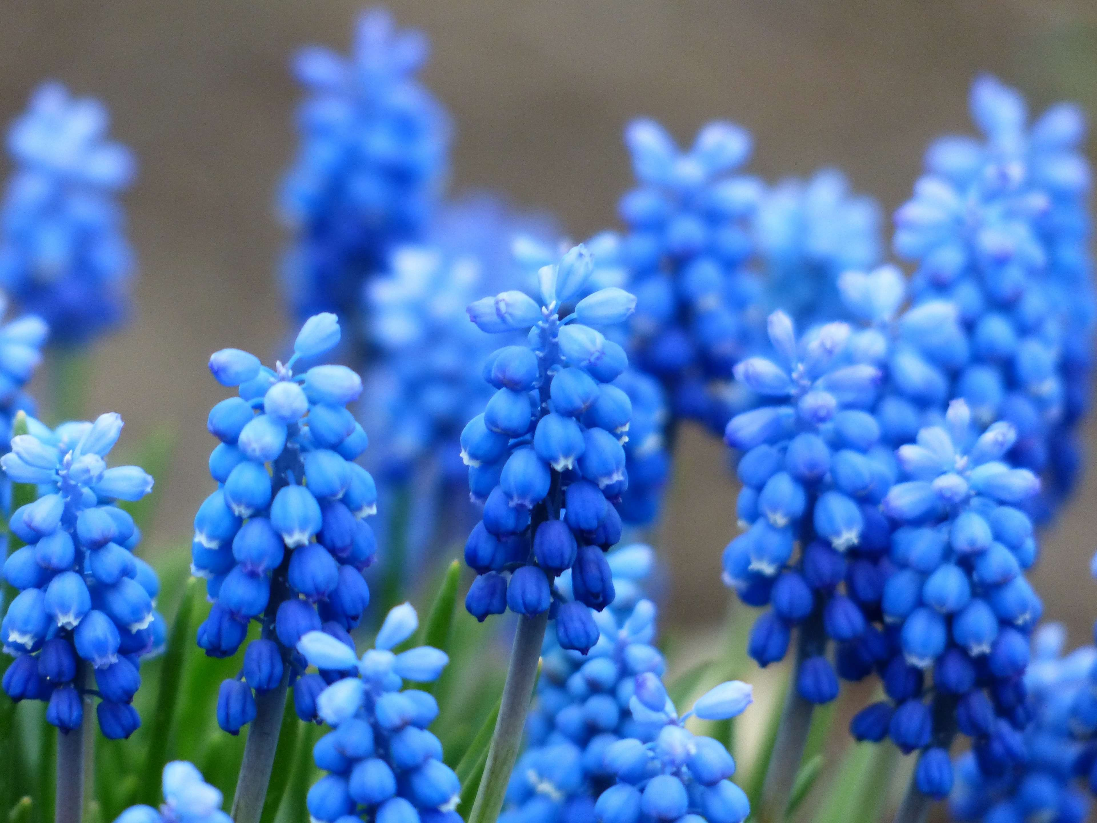 Asparagaceae Asparagus Plant Bell Bloom Blossom Blue Bright Colorful Common Grape Hyaci Types Of Blue Flowers Spring Flowers Background Spring Flowers
