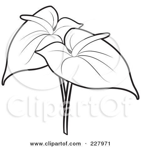Anthuriums Coloring Pages Of A Coloring Page Outline Of Two Anthurium Flowers By Lal Perera Anthurium Flower Anthurium Flower Drawing