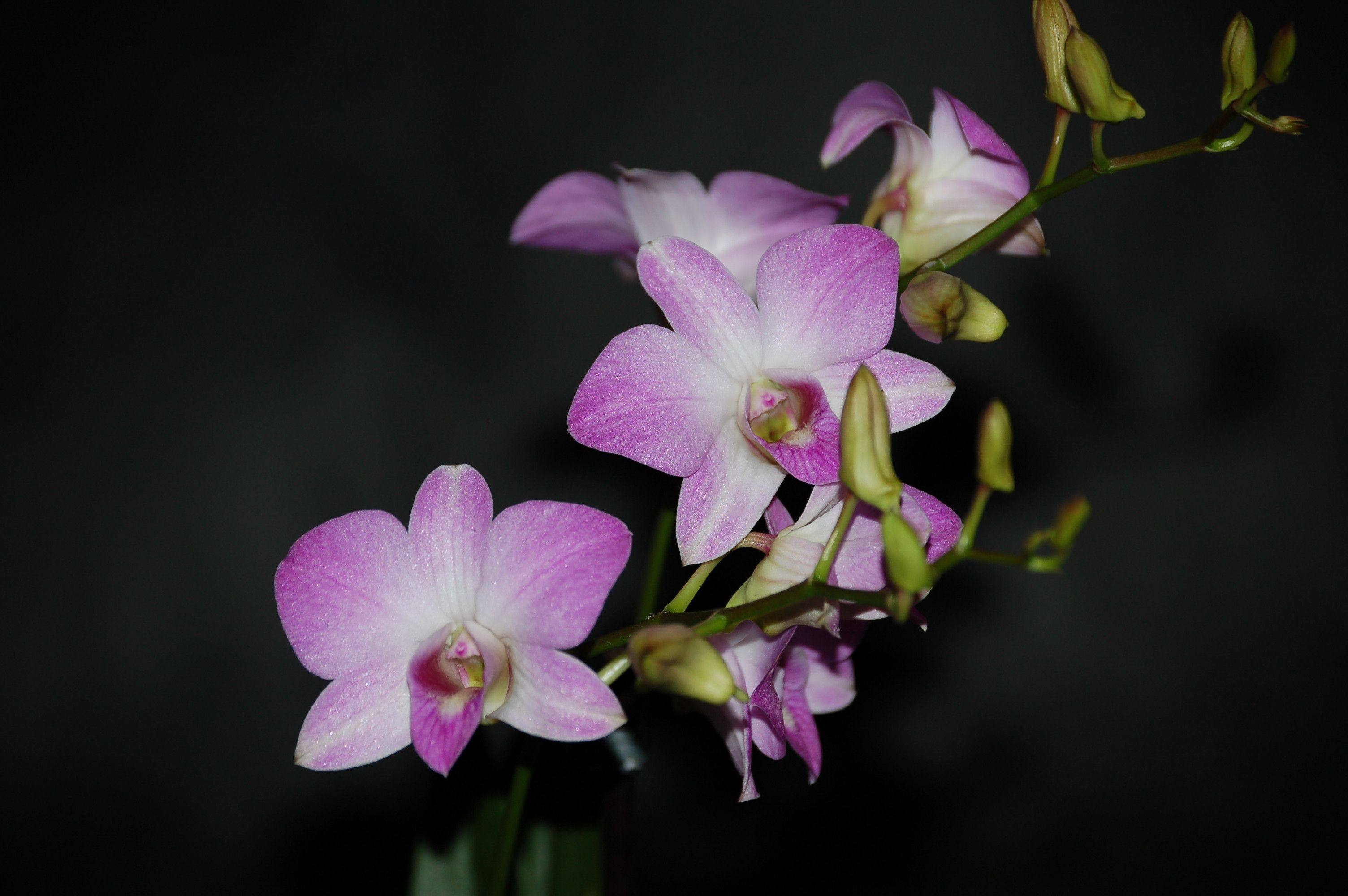 Dendrobium Compactum Hybride Orchideen Wichmann De Highest Horticultural Quality And Experience Since 1897 In 2020 Botanical Orchids Flower Spike Beautiful Orchids