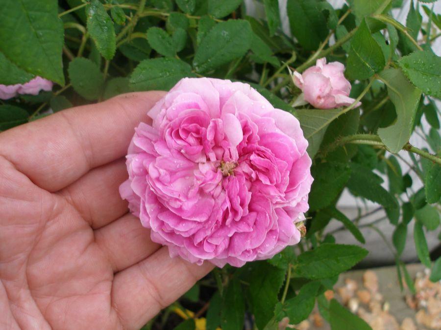 Buta de trandafir sălbatic pentru pierderea în greutate