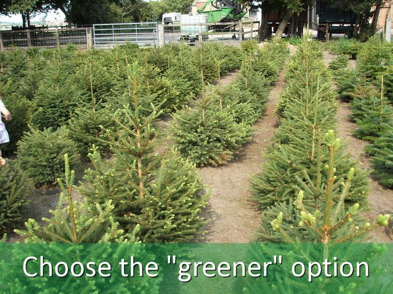 Save The Environment With A Real Christmas Tree Live Christmas Trees Christmas Tree Farm Tree Farm Pictures
