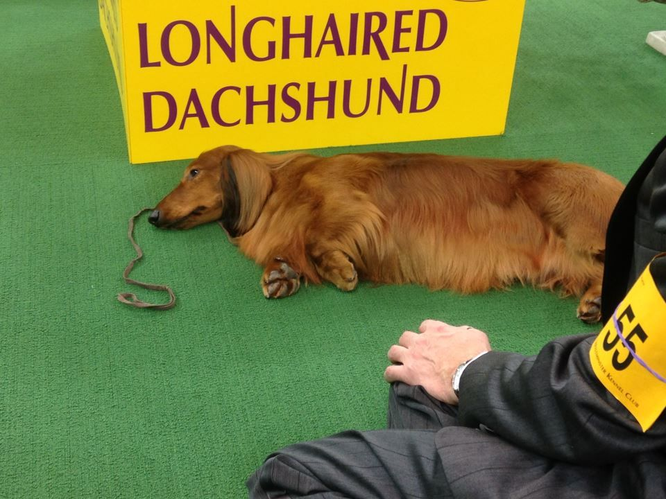 Long Haired Dachshund Behind The Scenes Westminster Dog Show