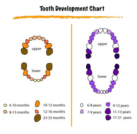 http\/\/wwwfoxdentistry4kids\/media\/images\/toothchartjpg - baby teeth chart