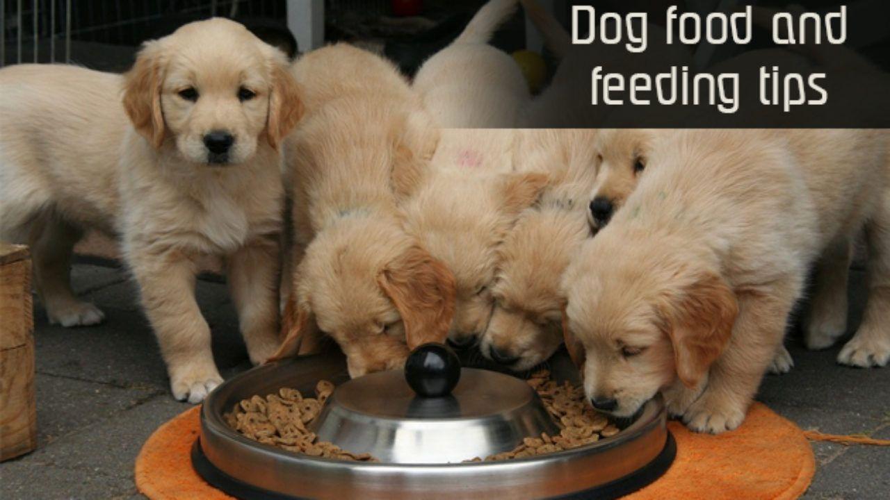 when to stop feeding puppy food golden retriever