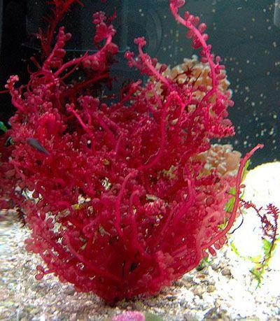 Red grape macro algae macro algae pinterest red for Red algae in fish tank