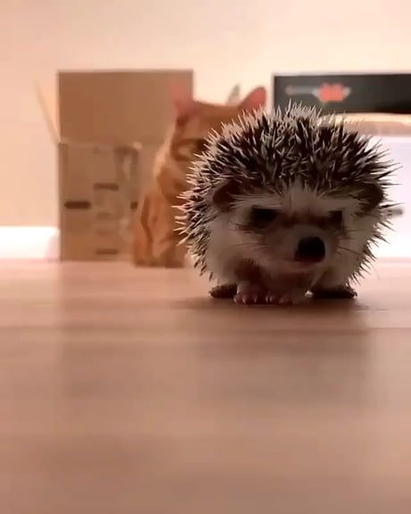 Cat trying to figure out what to do with a hedgeho