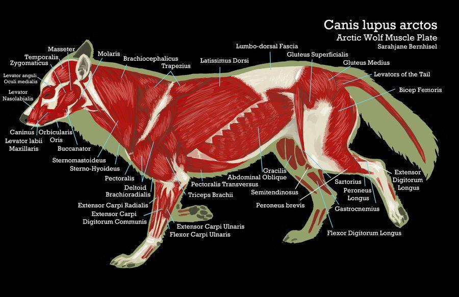 Wolf Anatomy Google Search Anatomy Pinterest Wolf Muscles