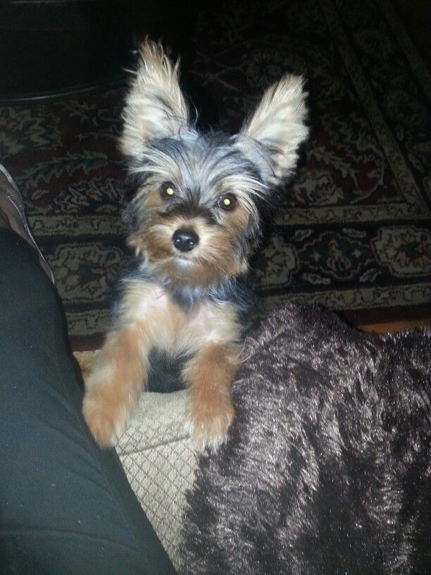 Diane Thompson My 5 Month Old Yorkie Angel 6 15 Yorkie Yorkshire Terrier Pets