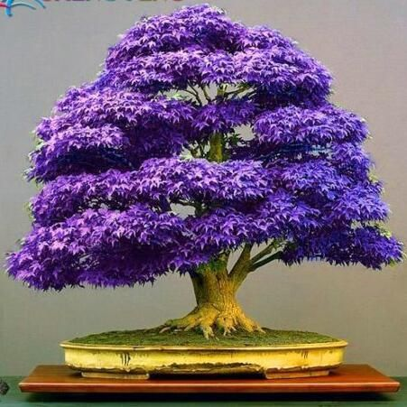20pcs japanische Ahornsamen vier Farbe beste Gartenpflanze Dekor