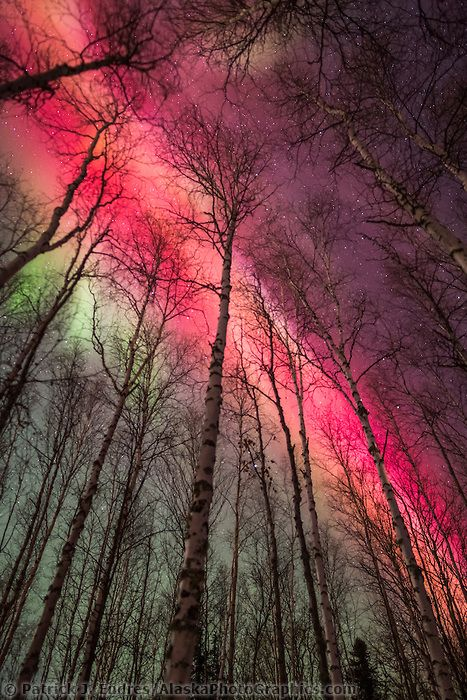 Vibrant red and green Aurora Borealis above the birch tree forest - Couleur Des Fils Electrique