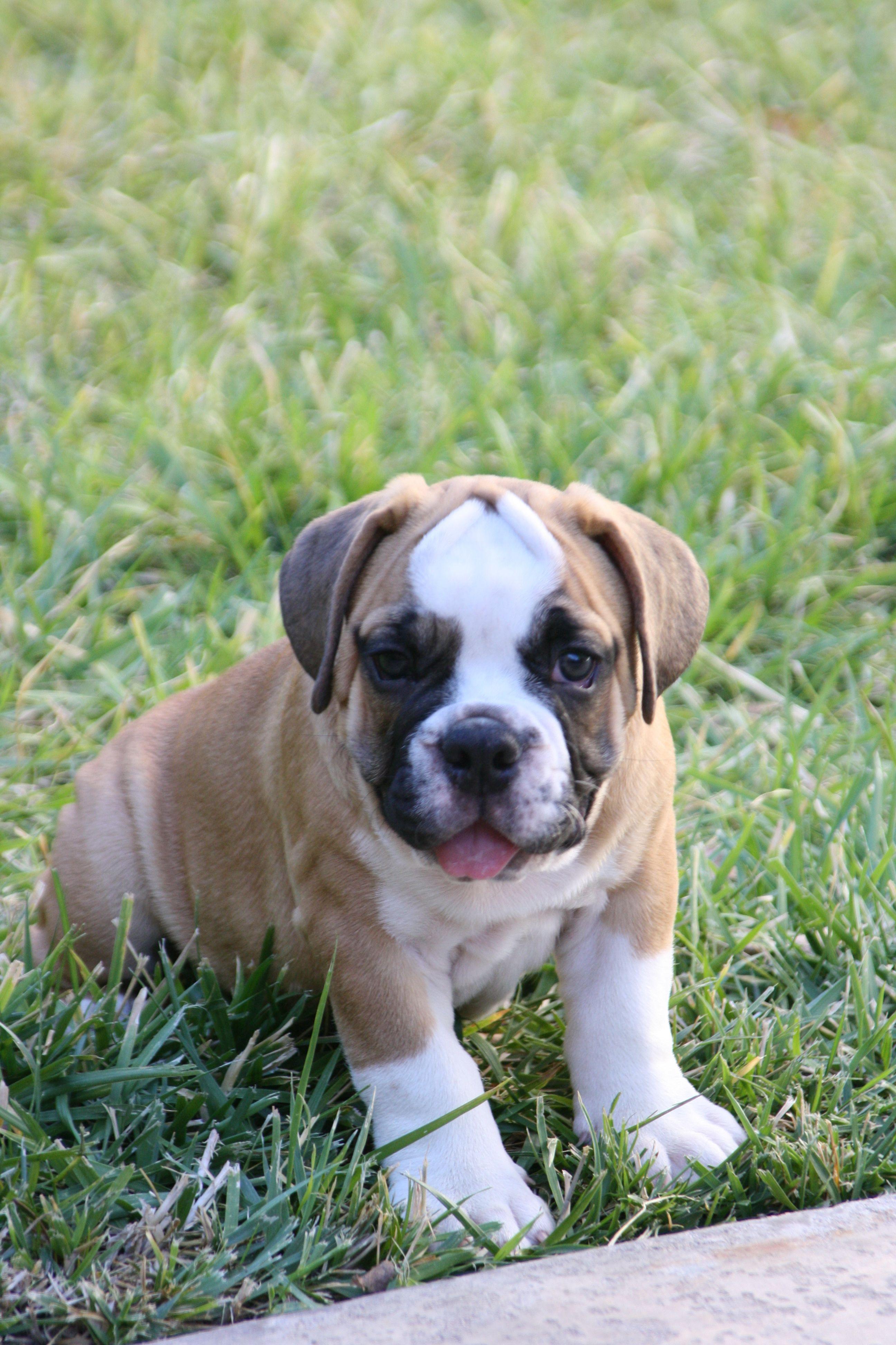 English Bulldogs Cute Animals Cute Dogs English Bulldog