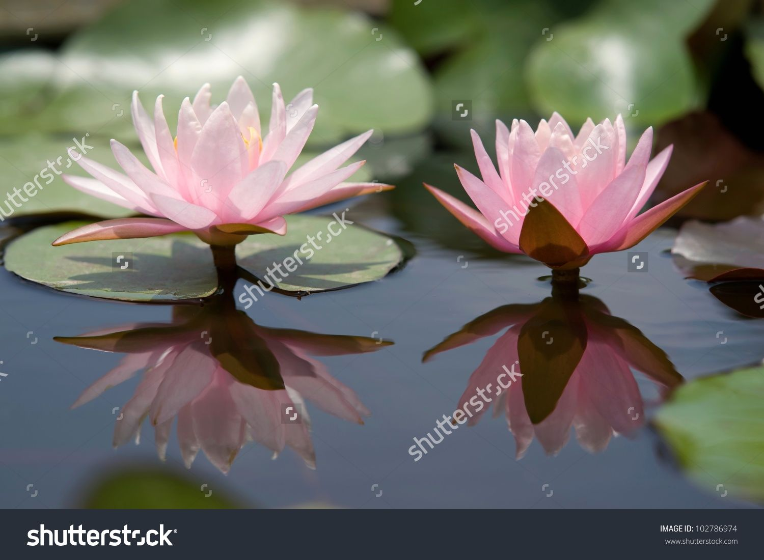 Water Lily Flower Shop Stock Flower Images Pinterest Flower