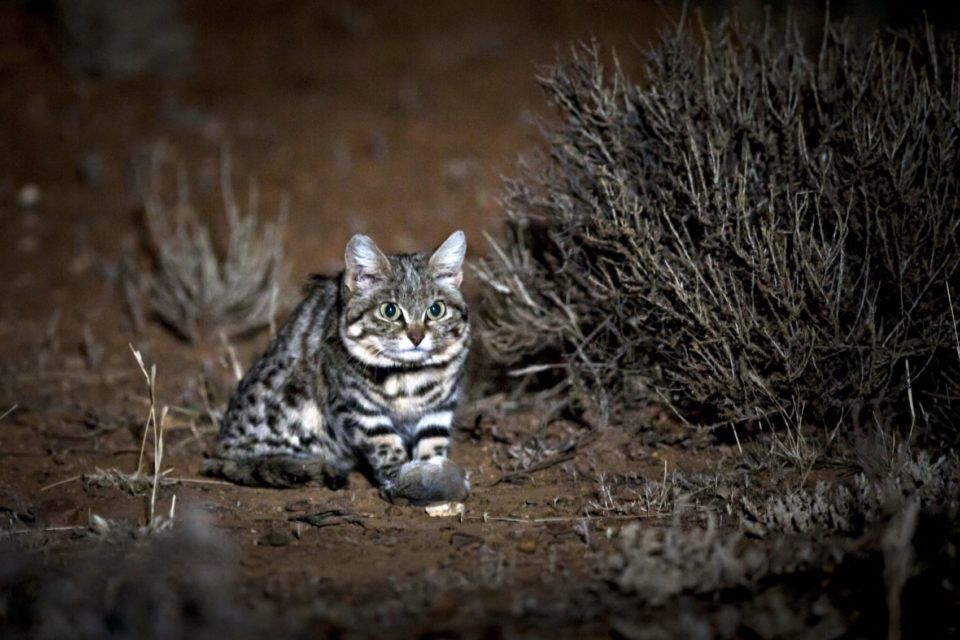 This It The Gyra Africa The Deadliest Wild Cat In The