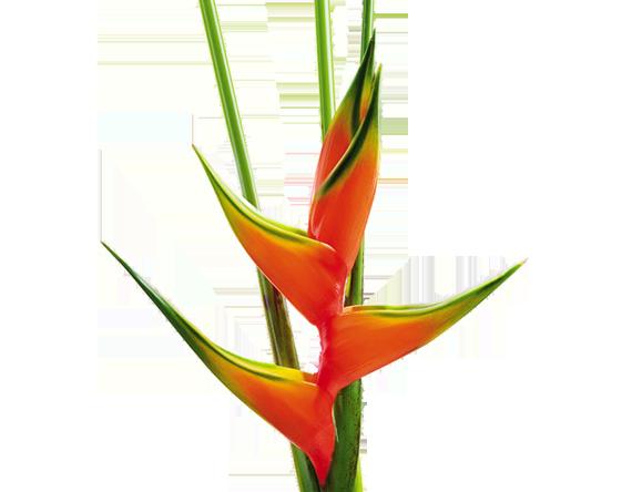 Heliconias Colombianas, Familia Heliconiaceae, Flores Tropicales y Exóticas de Colombia