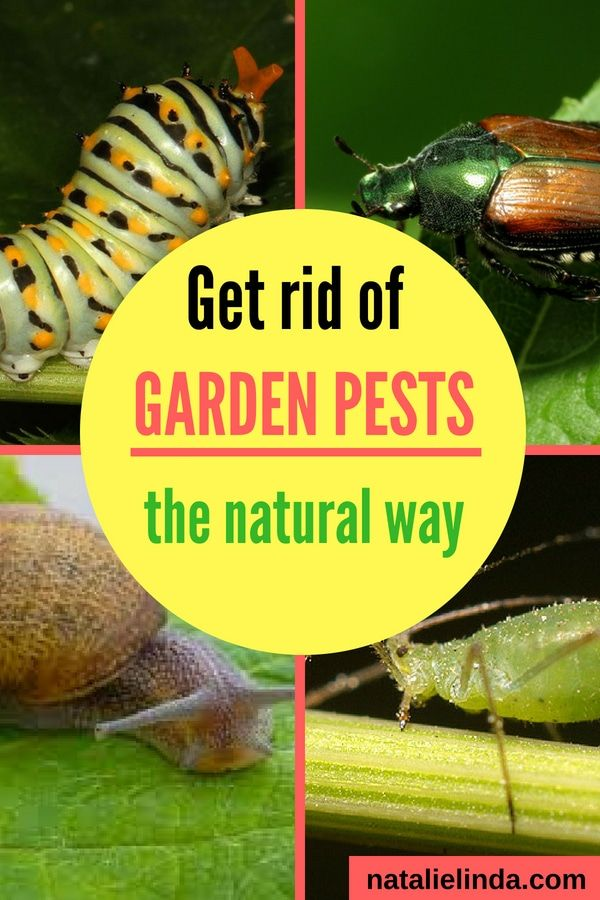 Learn the best natural methods of getting rid of the garden pests that are eating your plants