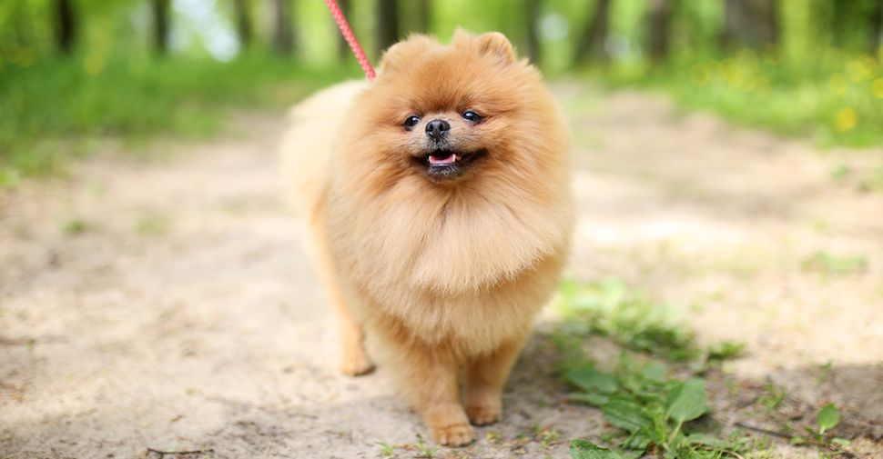Long Haired Dogs Top Breeds And Grooming Needs Small Dog Breeds