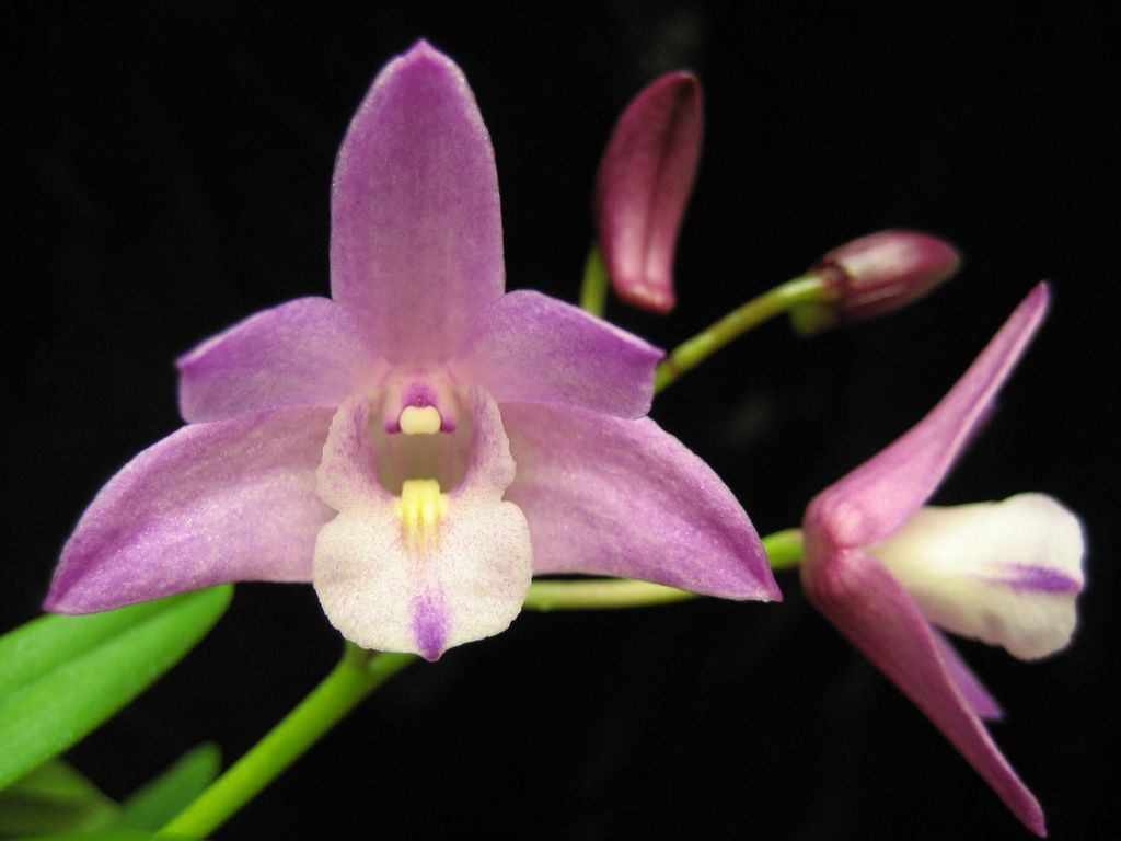 Dendrobium Jonathan S Glory Mondrook Unusual Flowers Orchids Dendrobium Orchids