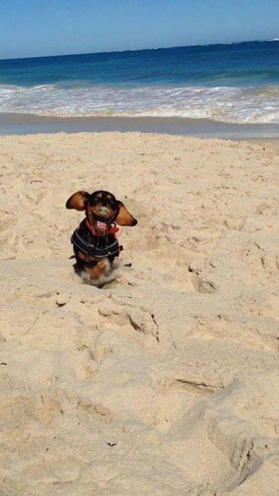 Dachshund At The Beach Beach Sausage Dog Dachshund Love Dachshund