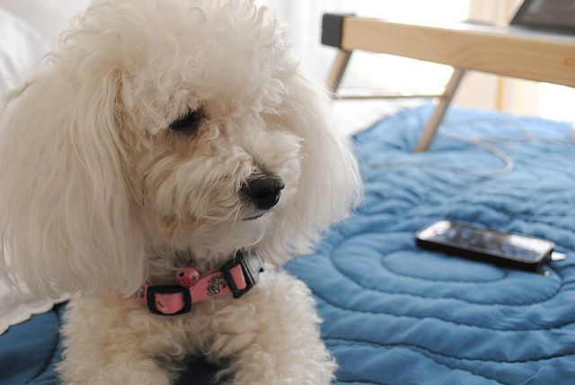 Five Really Cute Small White Dog Breeds Puppies Dog Breeds