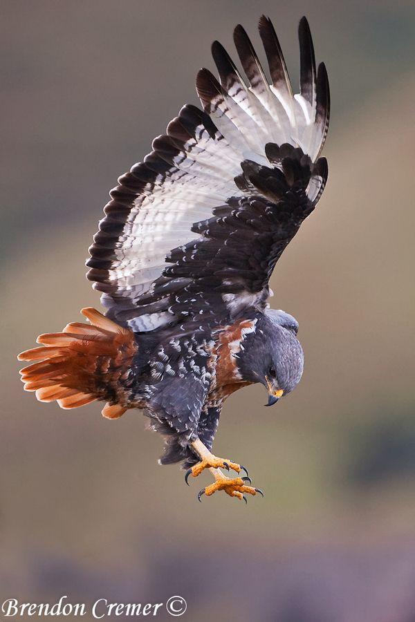 jackal buzzard        (photo by brendon cremer)
