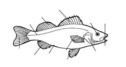 goldfish diagram to label | Fish are divided into 3