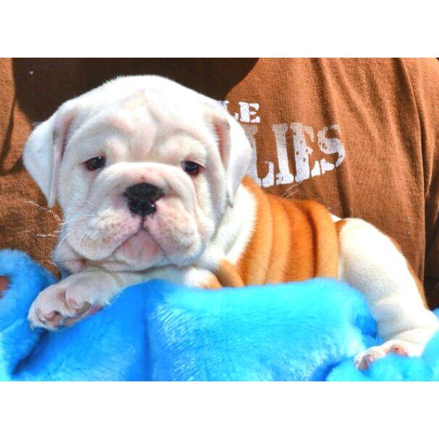 The Newest Member Of My Family Baby Gunner Baby Bulldogs