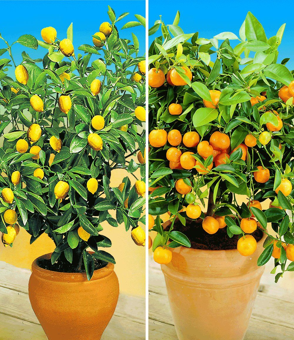 zitronen orangenbaum gartenpflanzen zitronenpflanze. Black Bedroom Furniture Sets. Home Design Ideas