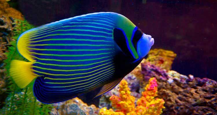 Saltwaterfish Com Fish Angel Fish Fresh Water Fish Tank