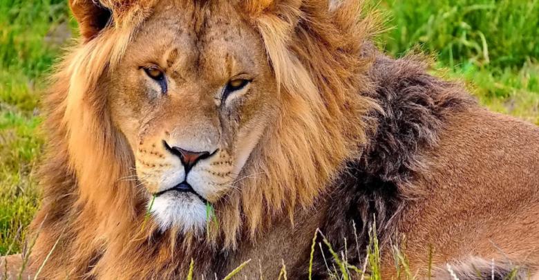 حلم الاسد في المنام للعزباء والمتزوجة بتفسير ابن سيرين Lion Pictures Animals Lion Wallpaper
