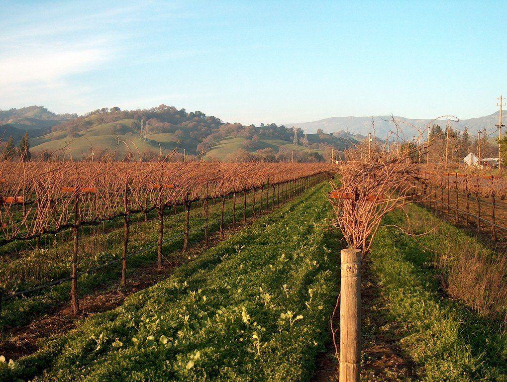 Fairfield, CA : Fairfield CA Dormant grapevines in January ...