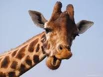 Afbeeldingsresultaat voor giraffen