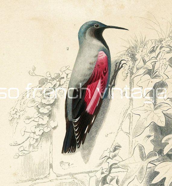 1861 Oiseaux Sittelle gravure ancienne Orbigny par sofrenchvintage