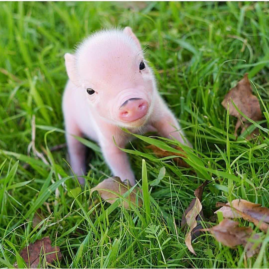 Piggy Friendly On Instagram Do You Want To Have A Pet Pig Tag
