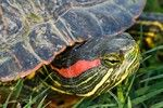My daughter got her finger too close to one of these red eared sliders when we got it out of the road........... they bite!