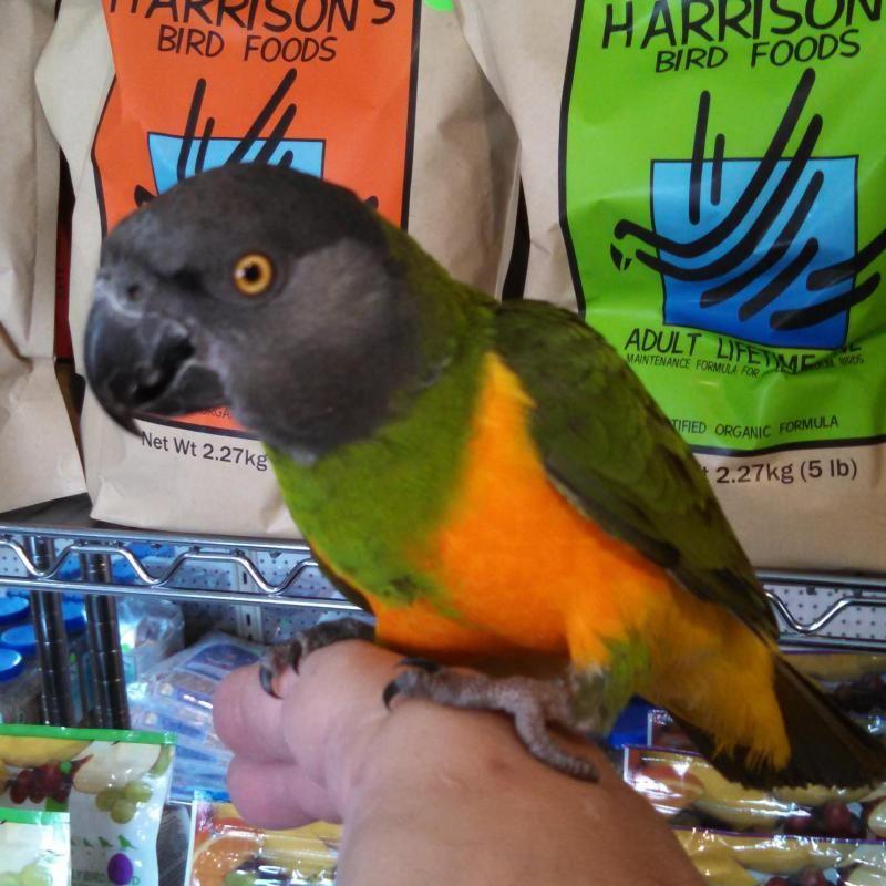 Adopt Sammy On Petfinder Senegal Parrot Parrot Bird Pictures