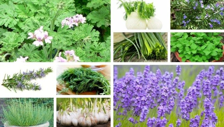 Fast Growing Aromatic And Medicinal Herbs In 2020 Medicinal